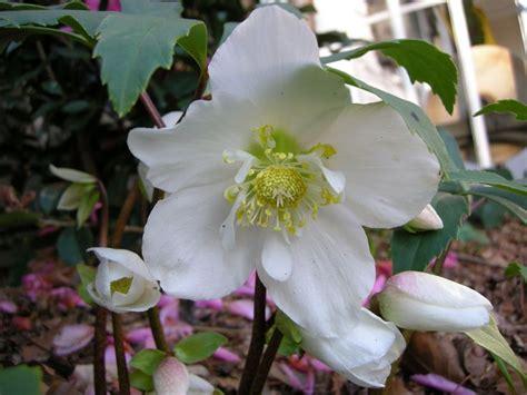 helleborus lenten care helleborus niger jacob shade gardening pinterest beautiful a beautiful and tags