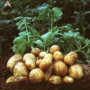 100pcs Giant Purple Potato Plants Perennial Bonsai Tree