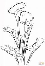 Calla Ausmalbilder Lily Coloring Lilies Drawing Printable Drawings Draw sketch template