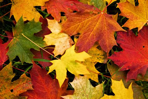 Autumn Tree Leaf Fall Animated Wallpaper - wallpapers fall leaves wallpaper cave