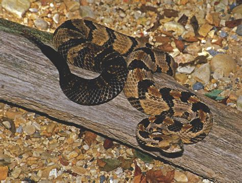 Identification of Snakes in Alabama for Forest Workers ...