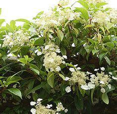 Clematis Armandii  Climbing Flowering Clematis Vine, 15
