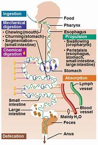 12  The Digestive System