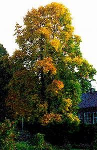 Wunderschner Tulpenbaum Hat Nicht Jeder In Seinem Garten