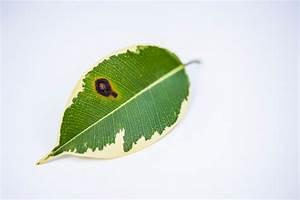 Ficus Benjamini Verliert Alle Blätter : ficus benjamini diese krankheiten befallen die birkenfeige ~ Lizthompson.info Haus und Dekorationen