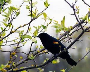Birds Pictures National Geographic: Black Bird Pictures