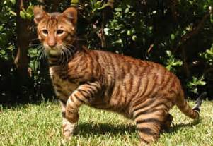 tiger cats toygers domestic tiger cats damn cool pictures