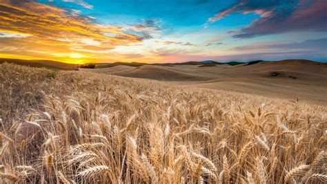 wallpaper field  hd wallpaper wheat spikes sky