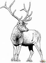Elk Coloring Deer Pages Printable Animals Drawing Gorgeous Mountain Rocky Colouring Para Colorear Adult Forest Printables Animal Drawings Moose Woodland sketch template