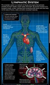 What Is The Lymphatic System  And How Does It Work