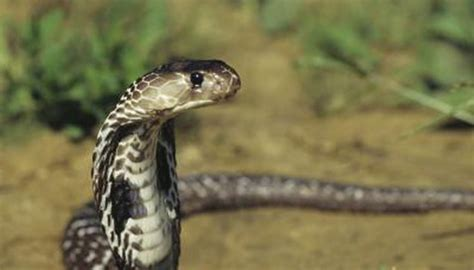 cobras strike animals momme
