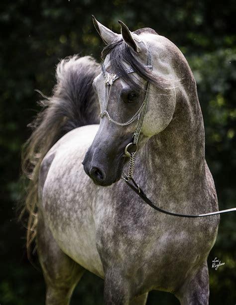 lda arabian egyptian straight mishaal ibn siraj horse illa magidaa horses grey colt arabians mares sold hp