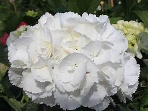 Hydrangea Macrophylla Winterhart : ballhortensie 39 schneeball 39 hydrangea macrophylla ~ Michelbontemps.com Haus und Dekorationen