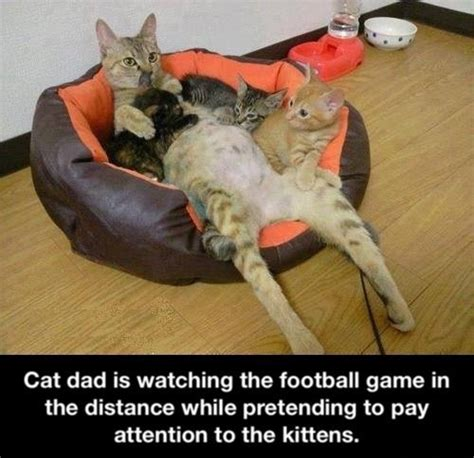 dad cat pretends    kittens   football game