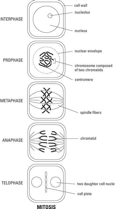 mitosis  plant cell life science yahoo image search