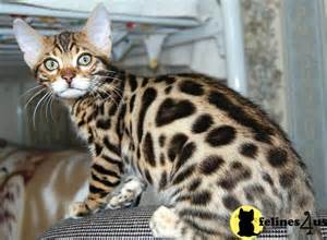 bengal cats for in ohio document moved