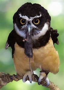 Spectacled owl | ALL GOD'S CREATURES...GREAT AND SMALL ...