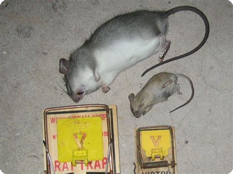 mice vs rats mouse vs rat how to tell the difference