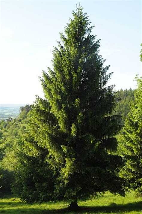 spruce trees spruce surprisingly edible abundant evergreen tree eat the planet