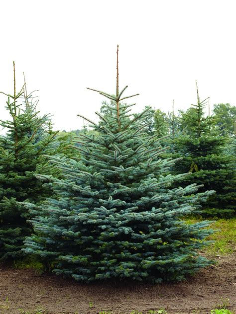 Weihnachtsbaum Im Topf Tipps Fuer Kauf Sorten Und Pflege by Tradition Voll Im Trend Weihnachtsb 228 Ume