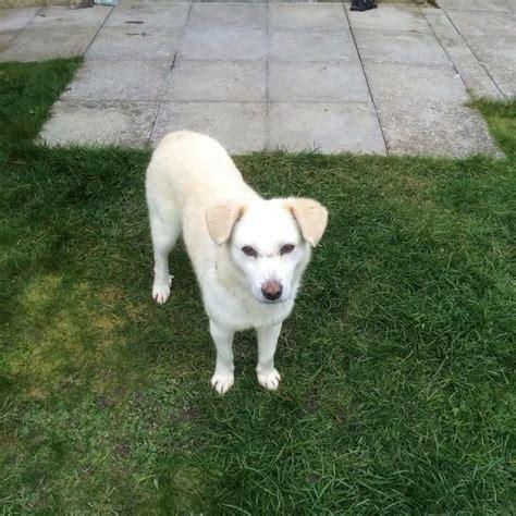 juno   year  male cross breed dog  adoption