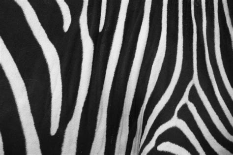 zebra skin color 20 cool zebra print background collection creativefan
