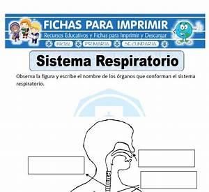 Ficha de Sistema Respiratorio para Primaria Fichas para Imprimir