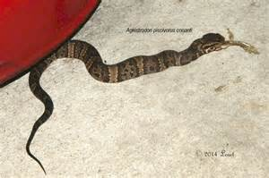 Florida Cottonmouth Water Moccasin Snake