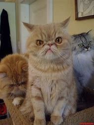 Angry Cats with Funny Faces Images