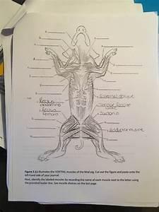 Fetal Pig Muscle Diagram