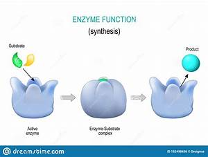 Enzyme  Lock And Key Model  Synthesis  Metabolic Processes