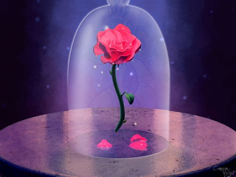 pink rose  beauty   beast hd wallpaper