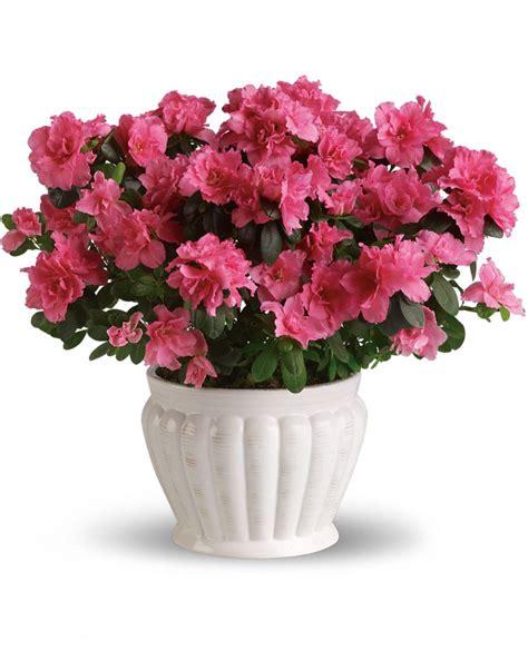 azalea negozio di fiori a roma fioridenni