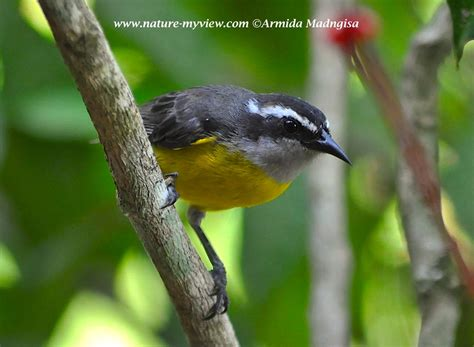 Category Bananaquit  Nature  My View