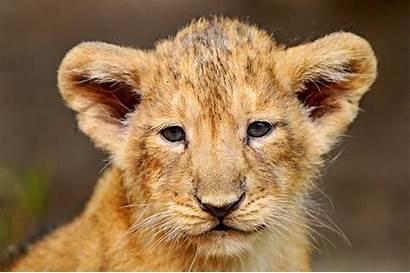 Lion Cub Portrait Wallpapers Wallpapercave