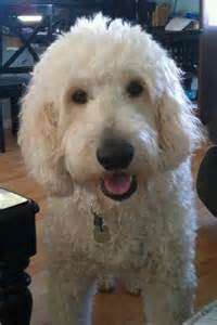 Cutest Goldendoodle Ever
