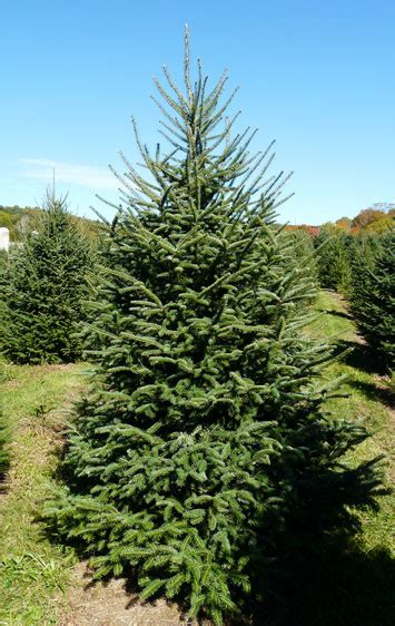 concolor smell like oranges christmas trees bell s trees accord new york