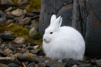 Can Snowshoe Hares Evolve to Cope With Climate Change?