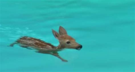 Swimming Fawn Does Laps In The Pool [video]