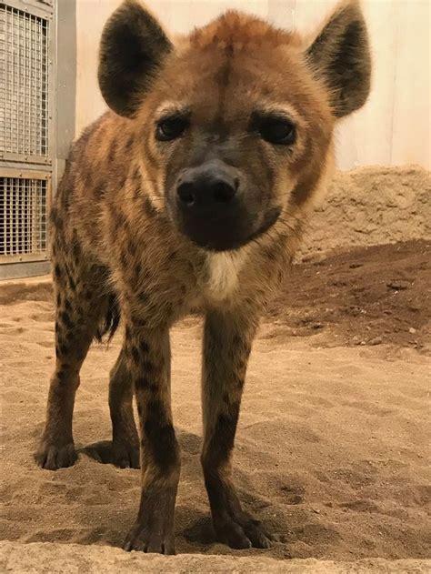 top   hyena ideas  pinterest hyena animal