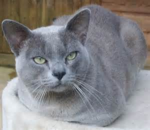 blue burmese cat blue burmese at stud exeter pets4homes