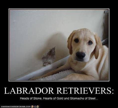 Labrador Meme - labrador retrievers heads of stone hearts of gold and stomachs of steel