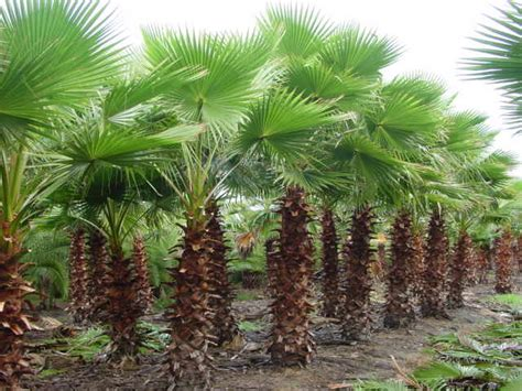 mexican fan palm care mexican fan palm tree pictures