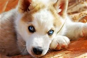 Dacoda (Siberian Husky/Timber Wolf) | ThriftyFun