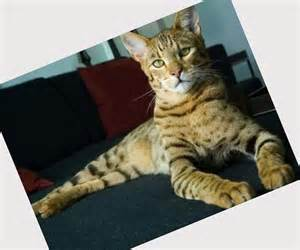 all cat breeds all cat breeds