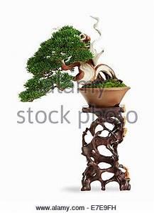 Chinesischer Wacholder Bonsai : bonsai baum chinesische wacholder juniperus chinensis cupressaceae stockfoto bild 53241182 ~ Sanjose-hotels-ca.com Haus und Dekorationen