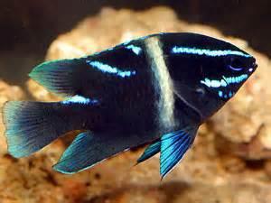 Delightful Damselfish Color and spunk in the aquarium