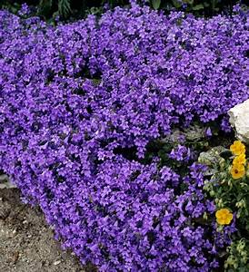 Plante De Bordure : fiche plante campanule campanule fiches et jardinage ~ Preciouscoupons.com Idées de Décoration