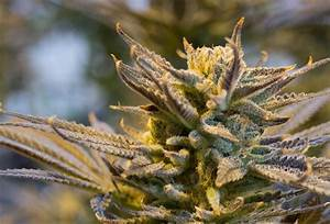 Understand All About Female Marijuana Plant Identification