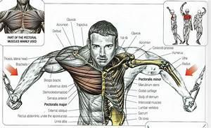 Bodybuilding Poster Anatomy